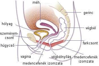 Medencefenék anatómia, Intimtornához Biofeedback Gátizom tréner, enterococcus sp okozta húgyúti gyulladás, Escherichia coli baktériumok okozta fertőzés, inkontinencia, hólyaghurut,