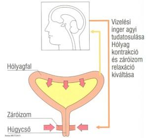 Intimtornához Biofeedback Gátizom tréner, enterococcus sp okozta húgyúti gyulladás, Escherichia coli baktériumok okozta fertőzés, inkontinencia, hólyaghurut,Inkontinencia neuroszabalyzasa, intimtorna, gátizomtorna, vizeletüritesi panaszok